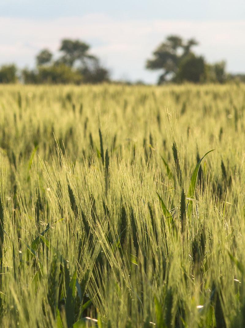 moulins lauzes blé-aude